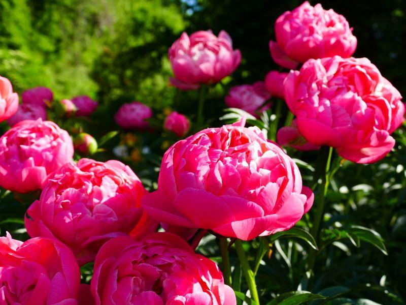 Foto: Paeonia pink | Stadt Lorsch